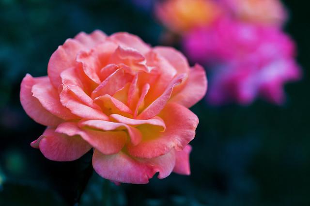 Rose Rio Samba