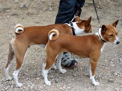dog breed, animal, dog, pet, ibizan hound, carnivoran, basenji, terrier,