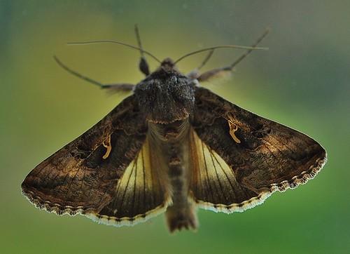 Silver Y Moth Pegwell Garden by Kinzler Pegwell