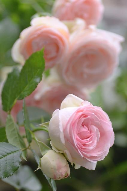 Photo for Pierre de ronsard rosa