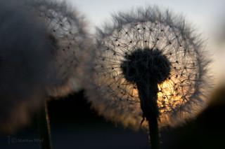 Sunset dandelion (taraxacum)
