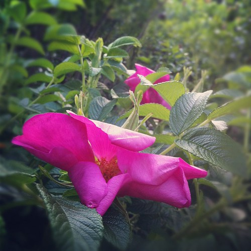 goodnight, roses #organicgarden #zone6a #maine #urbangarden #beachcottagelife #maineaesthetic