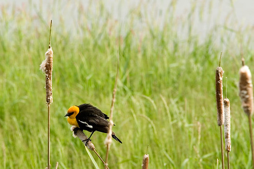 yellow_headed_blackbird