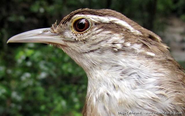 Endemic Antioquia Wren - Thryophilus sernai - San Jeronimo, Cauca Valley