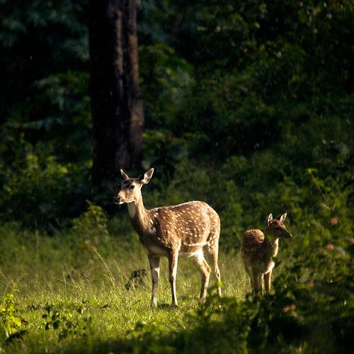 [フリー画像素材] 動物 1, 哺乳類, 鹿・シカ, 動物 - 親子 ID:201206091000