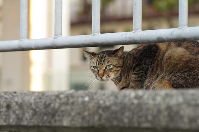柵にギリギリなキジトラ猫