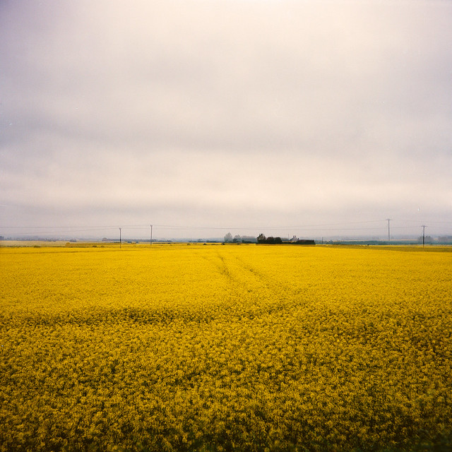 . Sea of yellow
