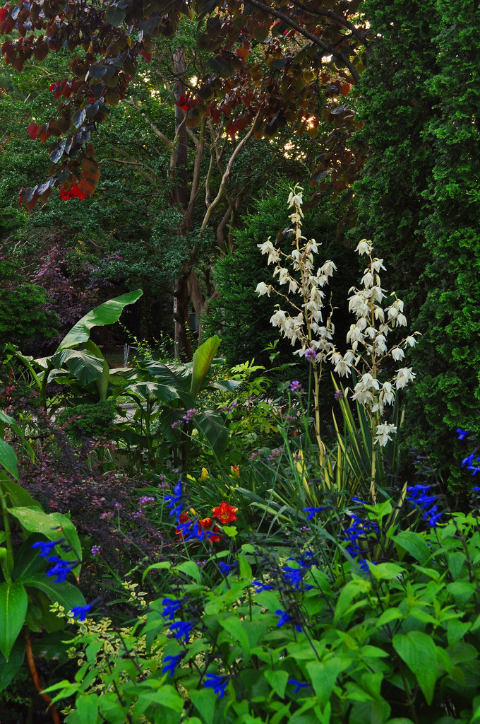 Front Garden with Yucca filamentosa 'Golden Sword, (2)