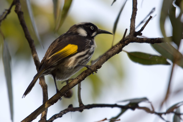 New Holland Honeyeater 2012-06-02 (_MG_8675)