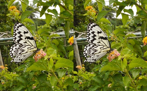 Idea leuconoe, stereo parallel view
