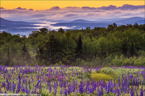 Down Valley Lupines