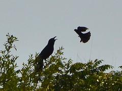animal, crow, fauna, bird,