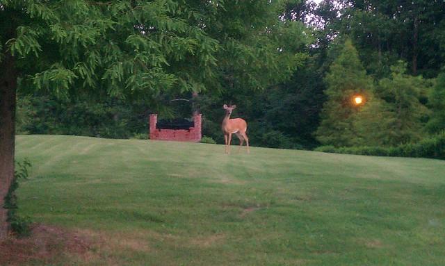 The Lawn Deer