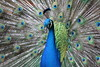 PEACOCK HAWAII by bobwilson467
