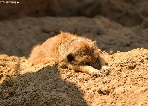 Sleeping meerkat
