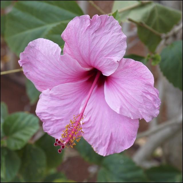 Hibiscus / Hibisco