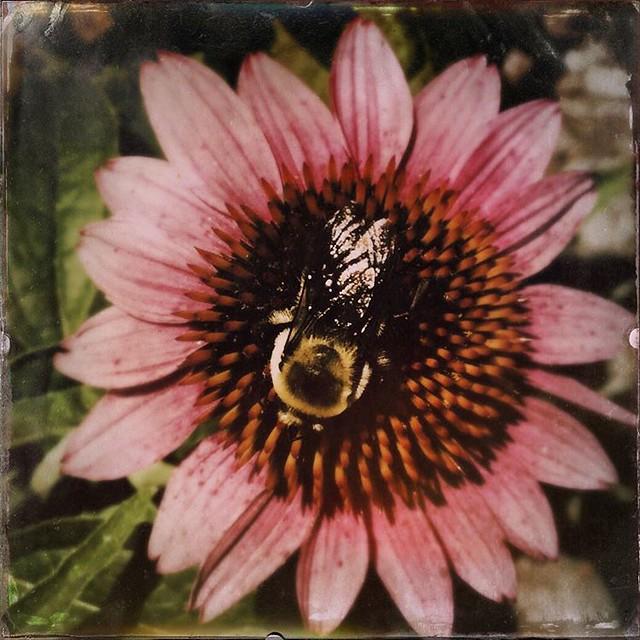Bumblebee and Echinacea #flowers #echinacea #purpleconeflower #iu #indianauniversity #iubloomington #hermanbwellslibrary