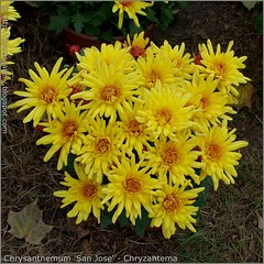 Chrysanthemum 'San Jose' - Chryzantema
