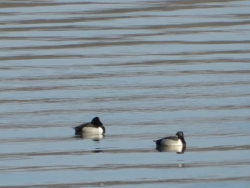 Sleeping Ring-necked Ducks