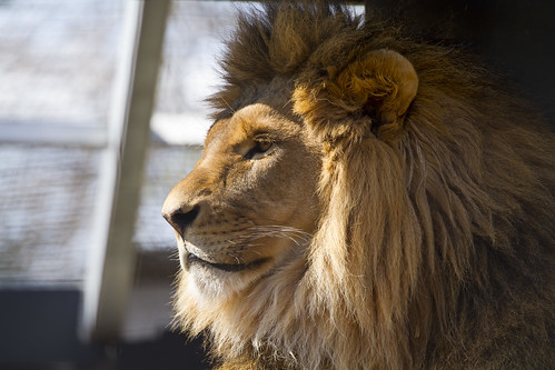 Lion Awake