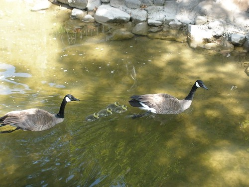 1geese ann and bill concord