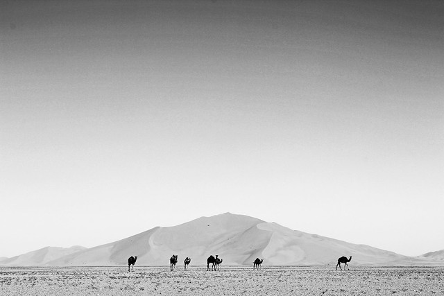 Camels on the gravel plain