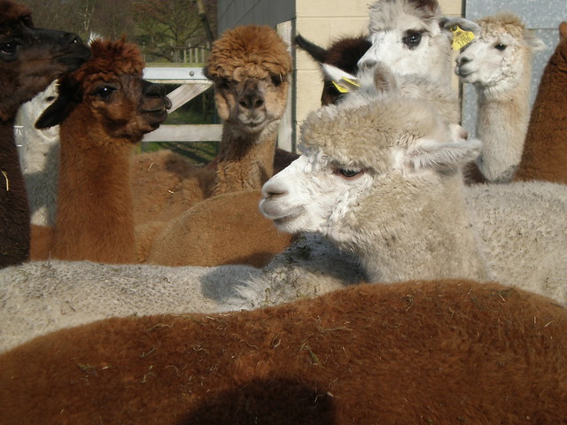 Alpaca flickr photo sharing for Alpaca view farm cuisine
