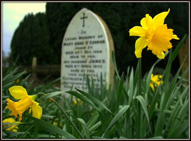 Image result for daffodils at a grave