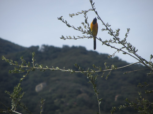 bullocks oriole returns