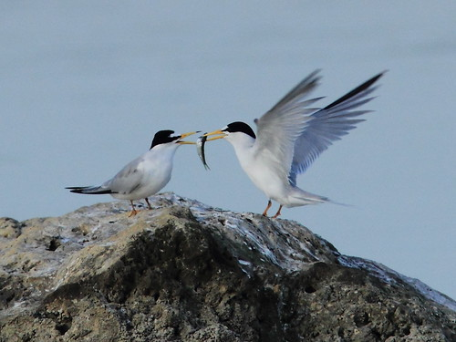 Least Tern courtship 2-20120419