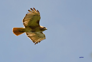 red shoulder hawk fly over