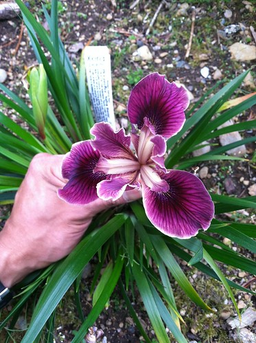 Pacific Coast Iris x 'Native Warrior'
