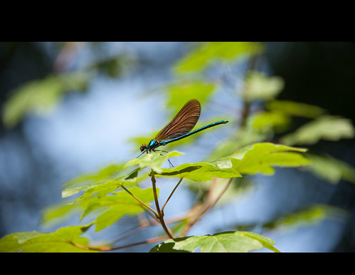 Dragonfly by Alain Bachellier
