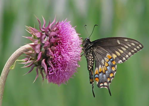 Black swallowtail on pink