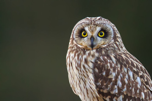 Short Eared Owl - Jorduggla - Asio flammeus