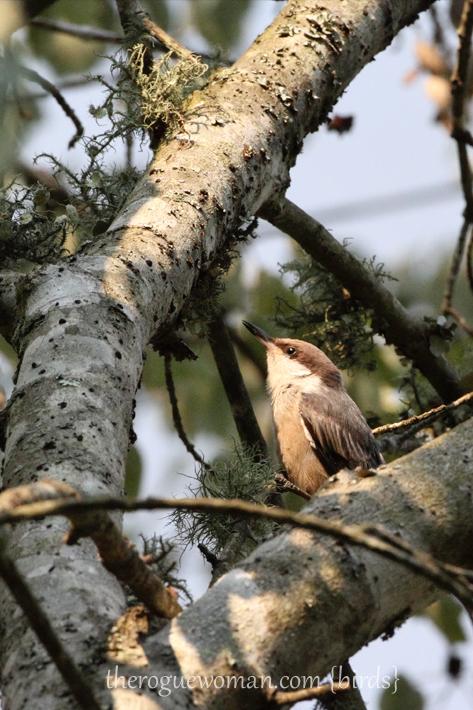 060512_04_birding08_brownHeadedNuthatch