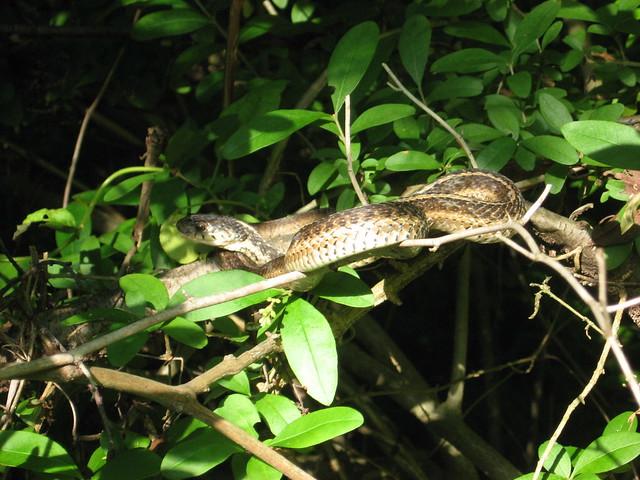 Eastern Garter Snake (WCCP)