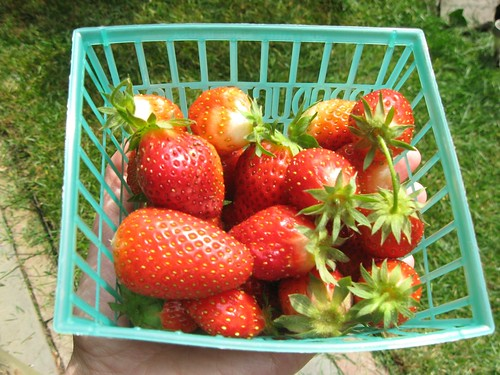 First 2012 strawberry harvest