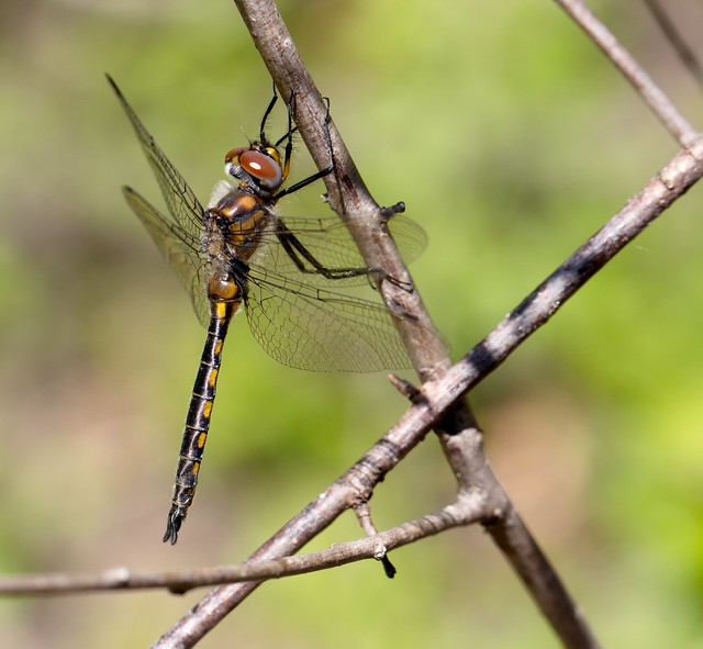 A male Spiny Baskettail.