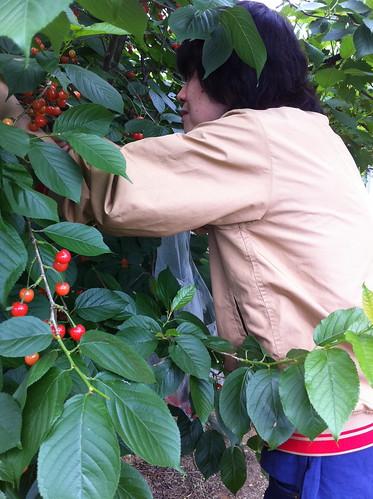 【数量限定、超希少!】自家菜園potager NAKANOのさくらんぼのコンフィチュール(その3)