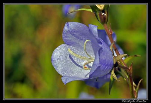Campanule (Campanula persiciflora)
