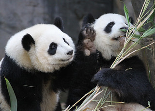 Po goes after Lun Lun's bamboo