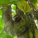 Mum and baby 3 fingered sloth we saw in the tree accross from where we stayed in Puerto Viejo, Costa Rica 07MAY12