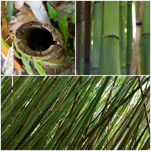 vacation plant hawaii flora maui bamboo hawai'i photostream hawai diptic seenfrommyfb deaftalent deafoutsidetalent deafoutdoortalent