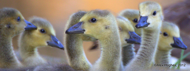 Bird Panoramic 5 - Canada Goose Goslings