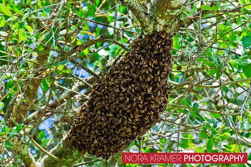 Bee Removal DSC_3647