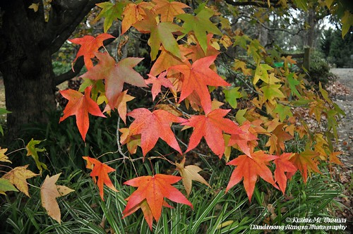 Liquidamber Autumn leaves
