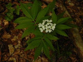 Cardamine heptaphylla=Dentaire à 7 folioles