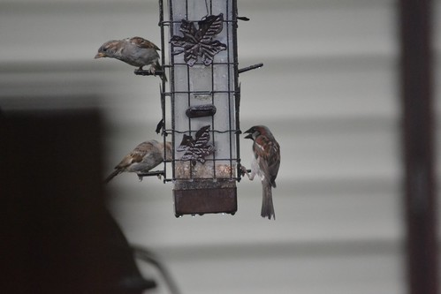 House sparrows at bird feeder
