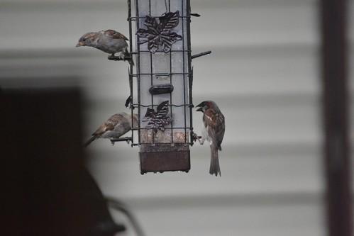 House sparrows at bird feeder